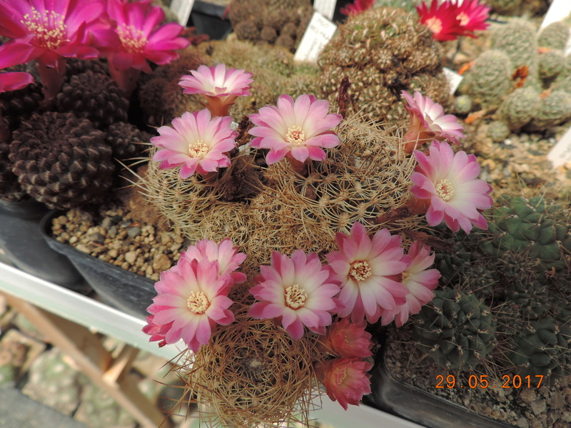 Cacti and Sukkulent in Köln, every day new flowers in the greenhouse Part 164 Bild_862