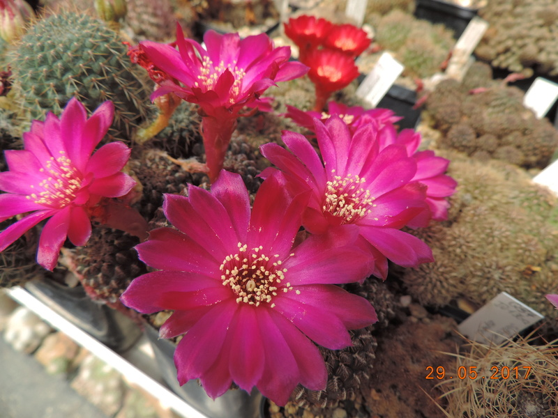 Cacti and Sukkulent in Köln, every day new flowers in the greenhouse Part 164 Bild_863