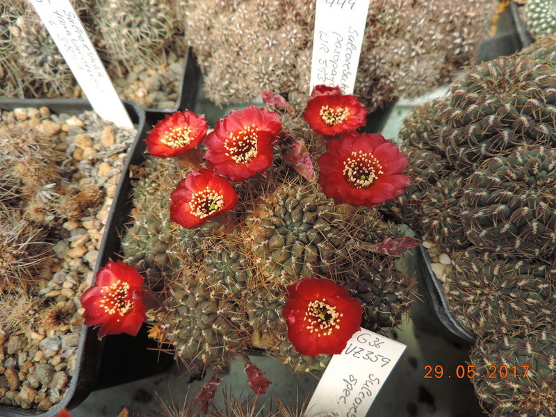 Cacti and Sukkulent in Köln, every day new flowers in the greenhouse Part 164 Bild_864