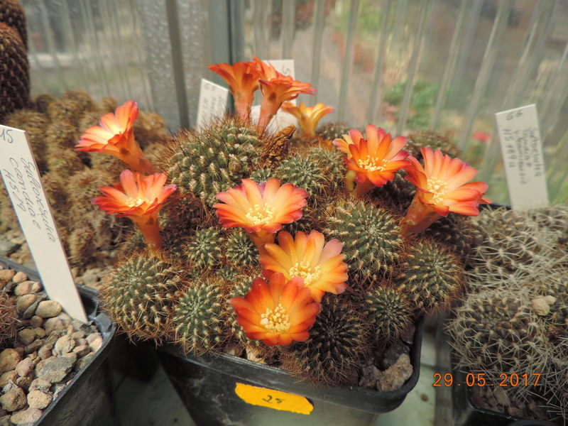 Cacti and Sukkulent in Köln, every day new flowers in the greenhouse Part 164 Bild_865