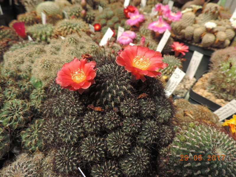 Cacti and Sukkulent in Köln, every day new flowers in the greenhouse Part 164 Bild_866