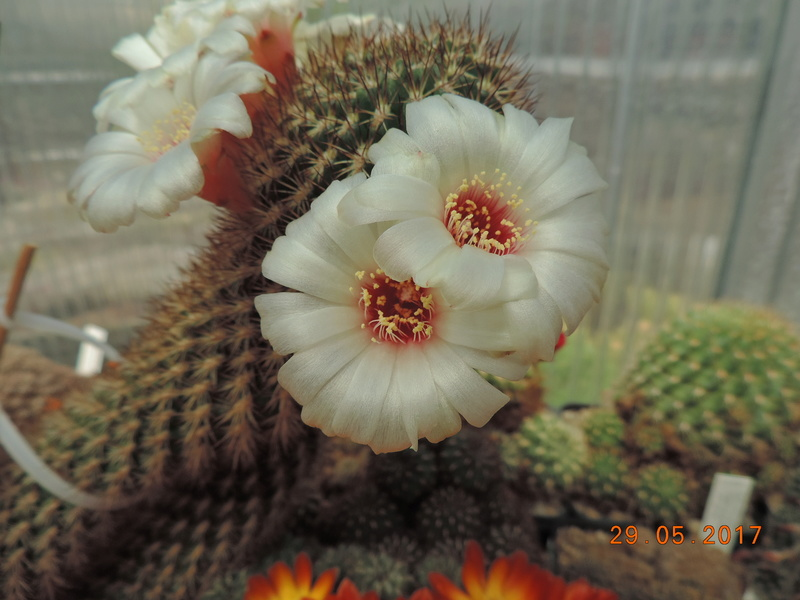 Cacti and Sukkulent in Köln, every day new flowers in the greenhouse Part 164 Bild_867