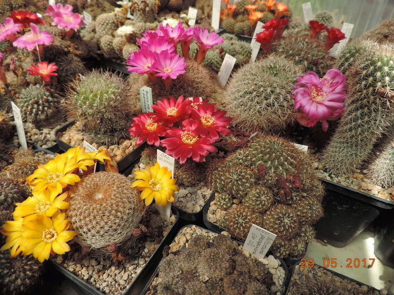 Cacti and Sukkulent in Köln, every day new flowers in the greenhouse Part 164 Bild_868