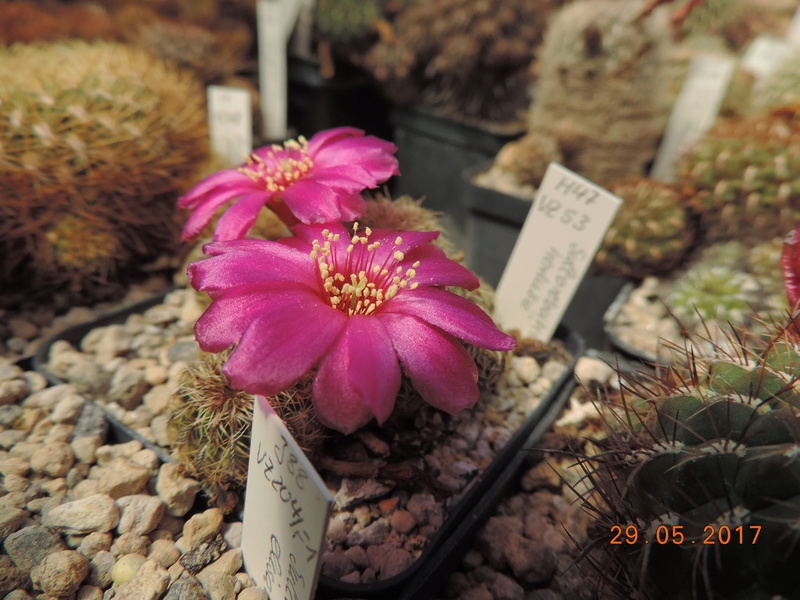 Cacti and Sukkulent in Köln, every day new flowers in the greenhouse Part 164 Bild_870