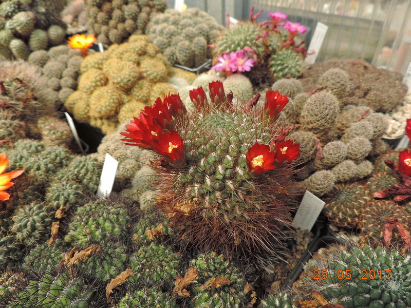 Cacti and Sukkulent in Köln, every day new flowers in the greenhouse Part 164 Bild_871
