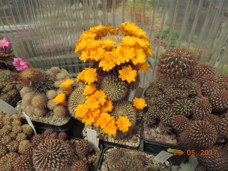 Cacti and Sukkulent in Köln, every day new flowers in the greenhouse Part 164 Bild_872