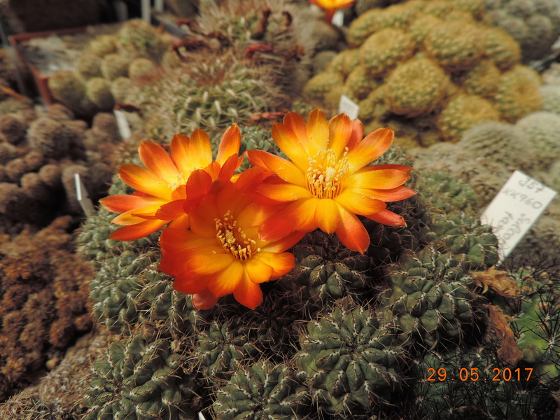 Cacti and Sukkulent in Köln, every day new flowers in the greenhouse Part 164 Bild_873