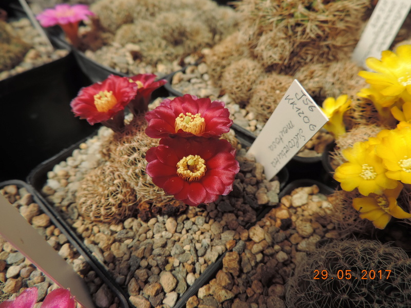 Cacti and Sukkulent in Köln, every day new flowers in the greenhouse Part 164 Bild_875