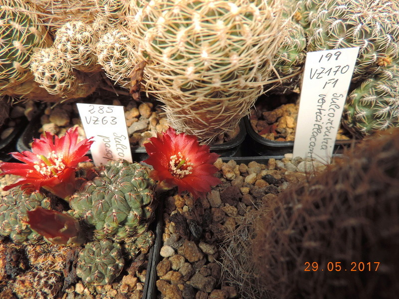Cacti and Sukkulent in Köln, every day new flowers in the greenhouse Part 164 Bild_877