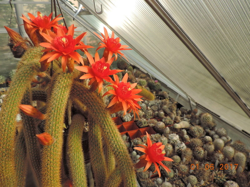 Cacti and Sukkulent in Köln, every day new flowers in the greenhouse Part 164 Bild_884