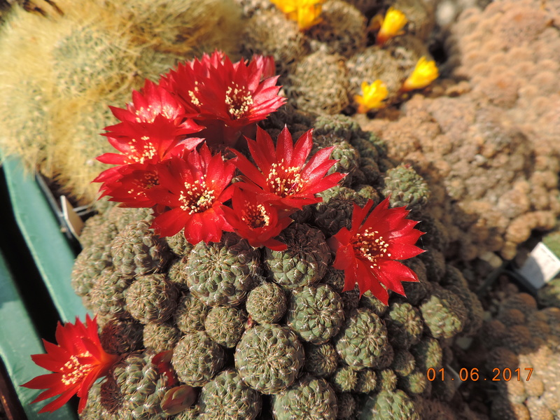 Cacti and Sukkulent in Köln, every day new flowers in the greenhouse Part 164 Bild_887