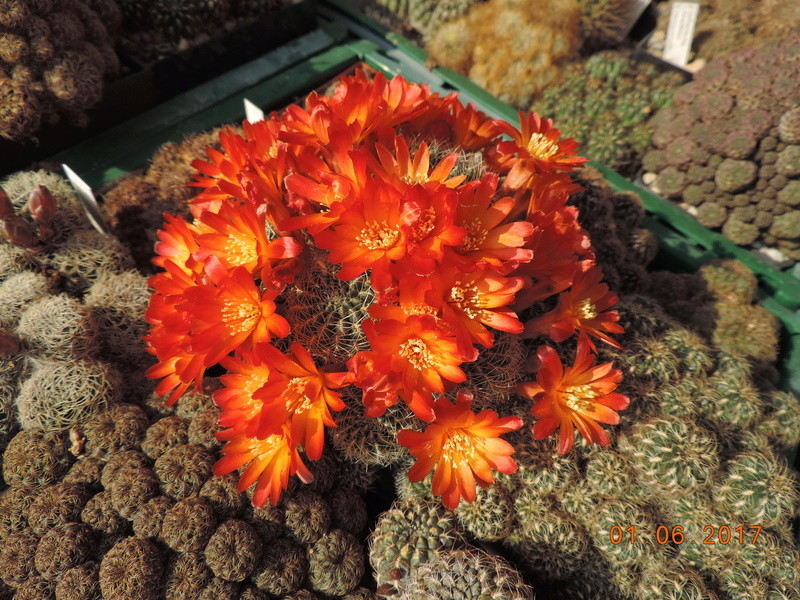 Cacti and Sukkulent in Köln, every day new flowers in the greenhouse Part 164 Bild_889