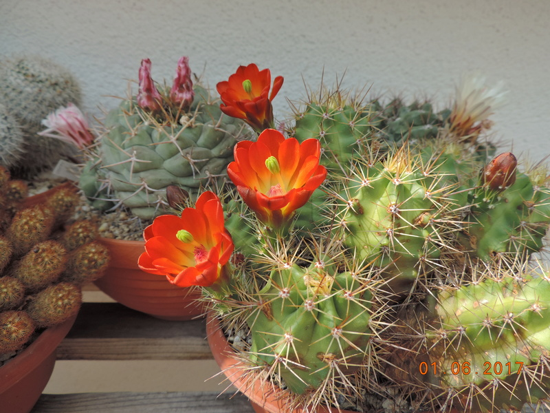 Cacti and Sukkulent in Köln, every day new flowers in the greenhouse Part 164 Bild_892