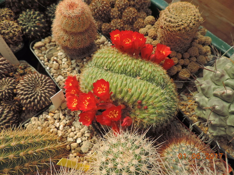 Cacti and Sukkulent in Köln, every day new flowers in the greenhouse Part 164 Bild_893