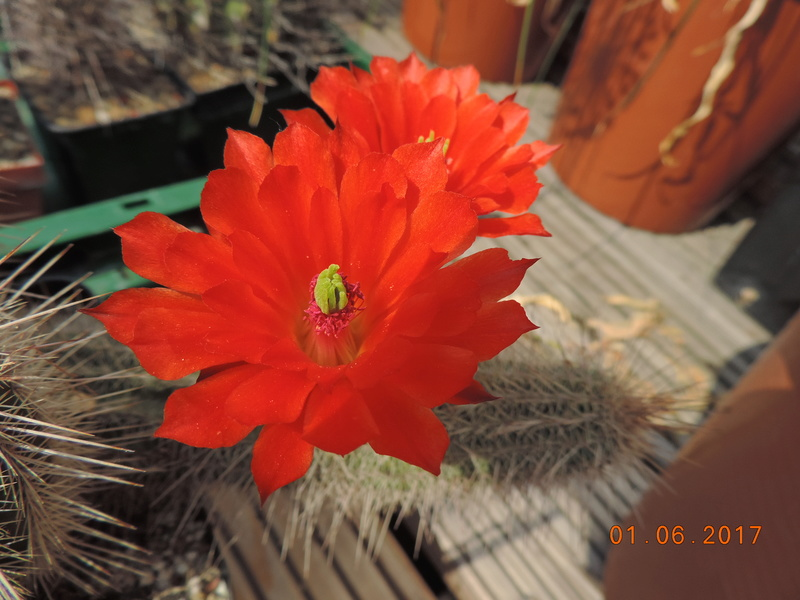 Cacti and Sukkulent in Köln, every day new flowers in the greenhouse Part 164 Bild_894