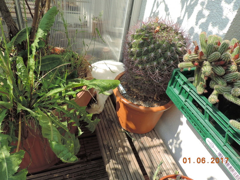 Cacti and Sukkulent in Köln, every day new flowers in the greenhouse Part 164 Bild_895