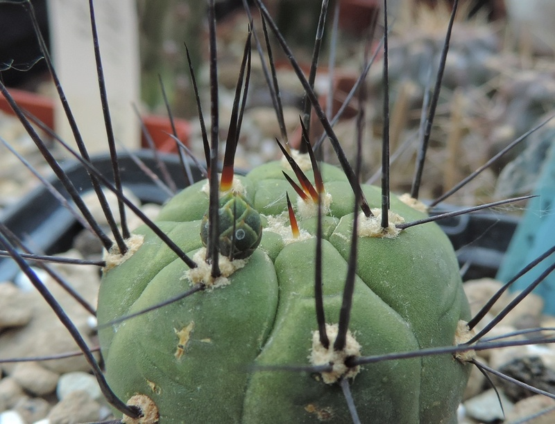 Cacti and Sukkulent in Köln, every day new flowers in the greenhouse Part 164 Bild_903