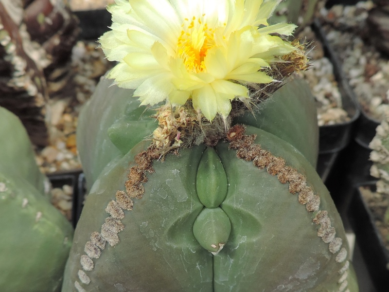 Cacti and Sukkulent in Köln, every day new flowers in the greenhouse Part 164 Bild_904