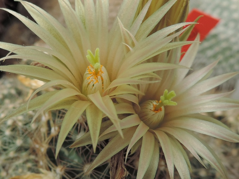 Cacti and Sukkulent in Köln, every day new flowers in the greenhouse Part 164 Bild_905