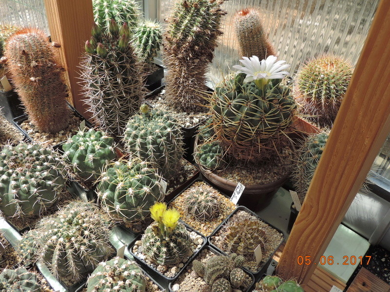 Cacti and Sukkulent in Köln, every day new flowers in the greenhouse Part 164 Bild_914
