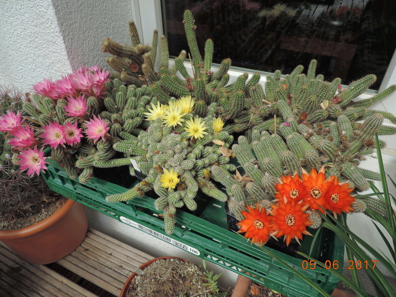 Cacti and Sukkulent in Köln, every day new flowers in the greenhouse Part 164 Bild_919