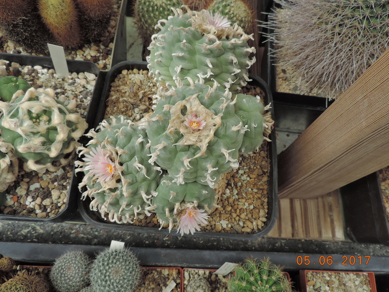 Cacti and Sukkulent in Köln, every day new flowers in the greenhouse Part 164 Bild_922