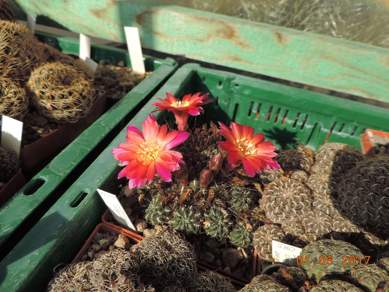 Cacti and Sukkulent in Köln, every day new flowers in the greenhouse Part 164 Bild_924