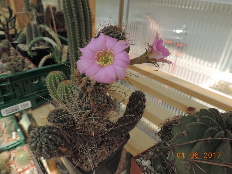 Cacti and Sukkulent in Köln, every day new flowers in the greenhouse Part 164 Bild_925