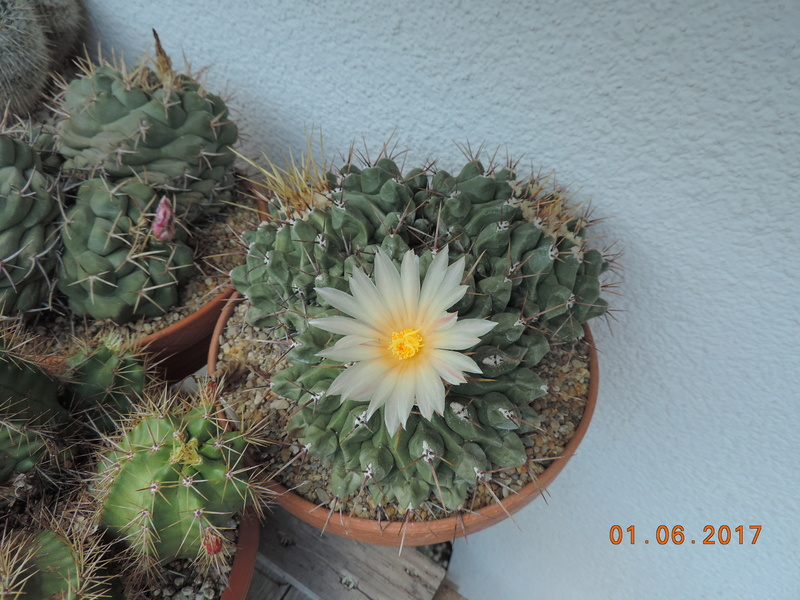 Cacti and Sukkulent in Köln, every day new flowers in the greenhouse Part 164 Bild_928