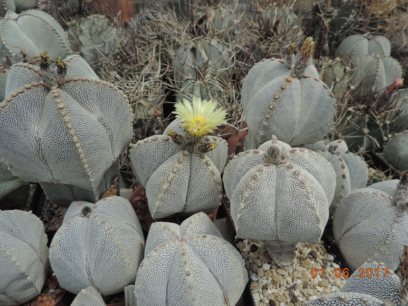 Cacti and Sukkulent in Köln, every day new flowers in the greenhouse Part 164 Bild_929