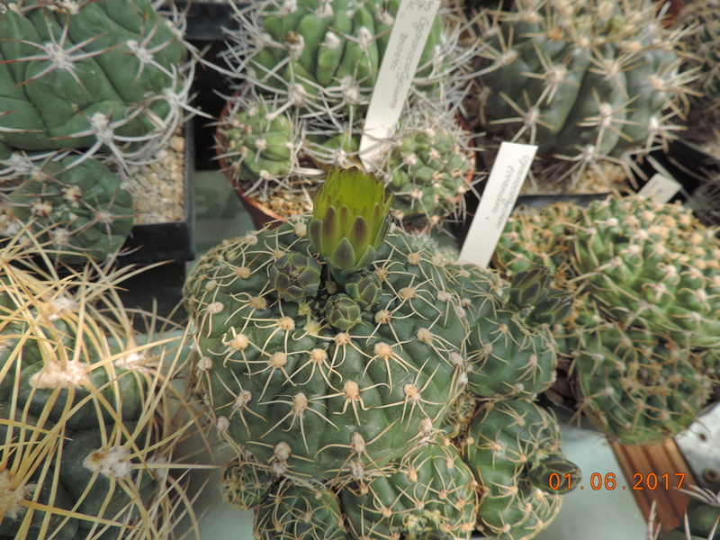 Cacti and Sukkulent in Köln, every day new flowers in the greenhouse Part 164 Bild_930