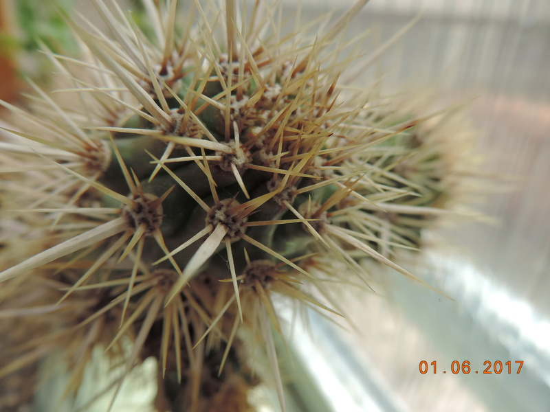 Cacti and Sukkulent in Köln, every day new flowers in the greenhouse Part 164 Bild_933