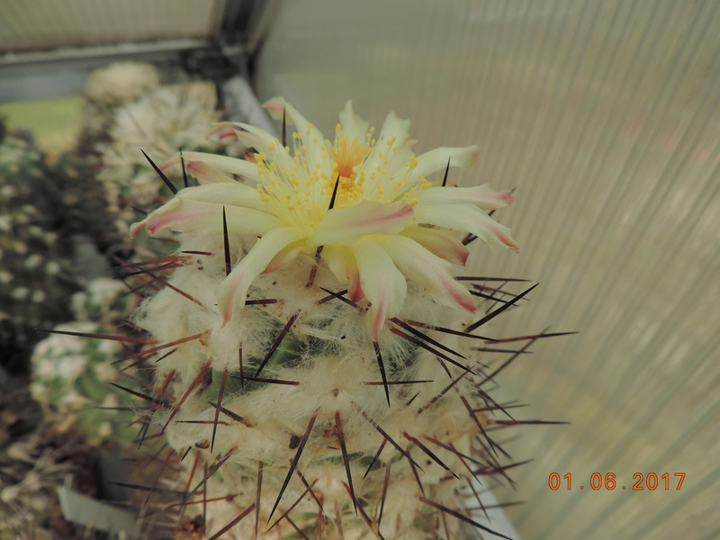 Cacti and Sukkulent in Köln, every day new flowers in the greenhouse Part 164 Bild_934