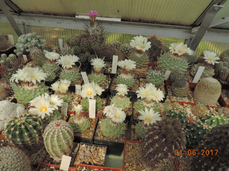 Cacti and Sukkulent in Köln, every day new flowers in the greenhouse Part 164 Bild_935