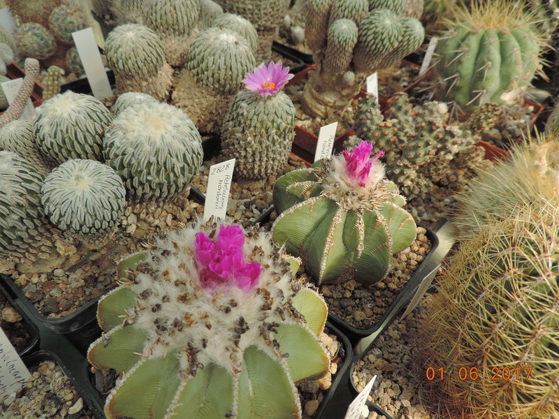 Cacti and Sukkulent in Köln, every day new flowers in the greenhouse Part 164 Bild_936