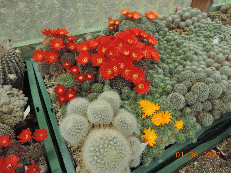 Cacti and Sukkulent in Köln, every day new flowers in the greenhouse Part 164 Bild_938
