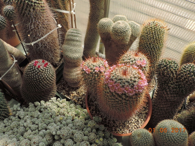 Cacti and Sukkulent in Köln, every day new flowers in the greenhouse Part 164 Bild_940