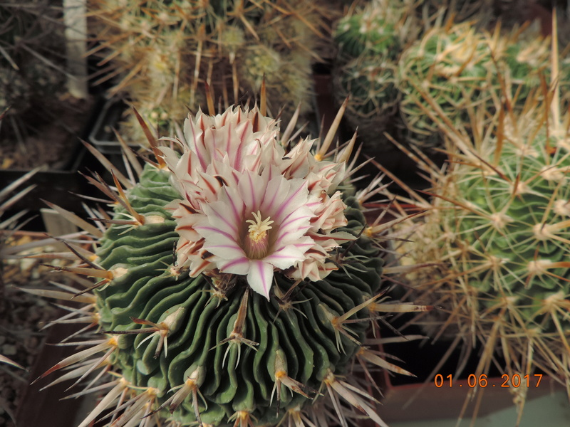 Cacti and Sukkulent in Köln, every day new flowers in the greenhouse Part 164 Bild_943
