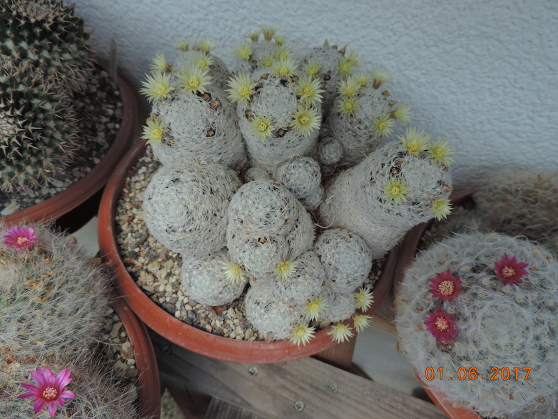 Cacti and Sukkulent in Köln, every day new flowers in the greenhouse Part 164 Bild_946