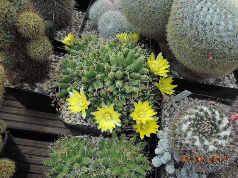 Cacti and Sukkulent in Köln, every day new flowers in the greenhouse Part 164 Bild_949