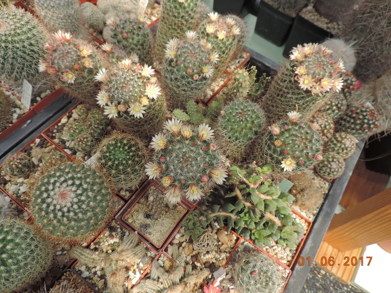 Cacti and Sukkulent in Köln, every day new flowers in the greenhouse Part 164 Bild_951