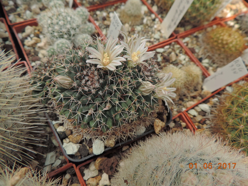 Cacti and Sukkulent in Köln, every day new flowers in the greenhouse Part 164 Bild_952