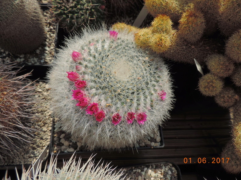 Cacti and Sukkulent in Köln, every day new flowers in the greenhouse Part 164 Bild_956
