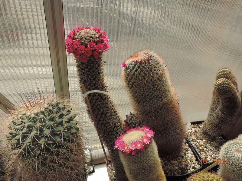 Cacti and Sukkulent in Köln, every day new flowers in the greenhouse Part 164 Bild_965