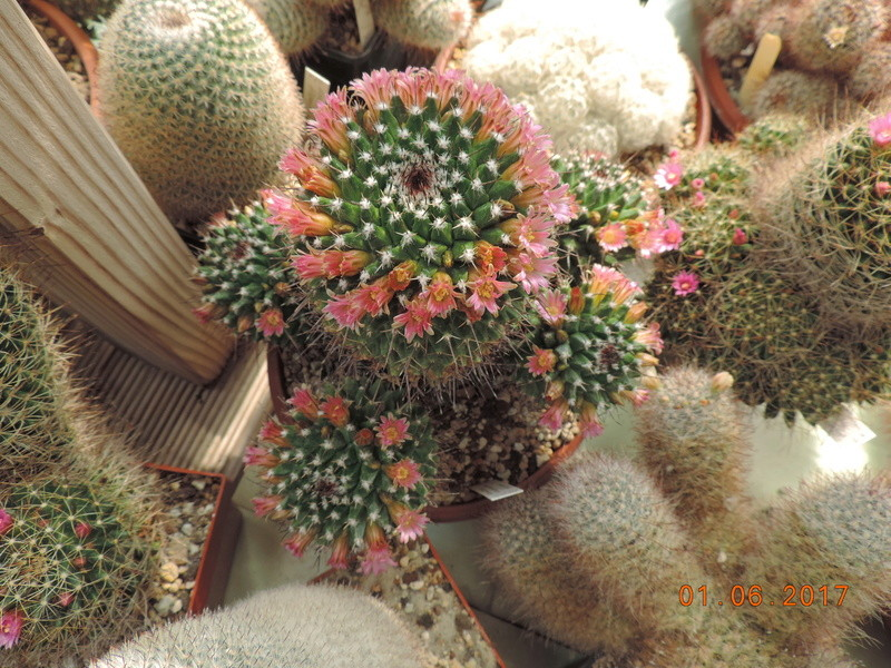 Cacti and Sukkulent in Köln, every day new flowers in the greenhouse Part 164 Bild_966