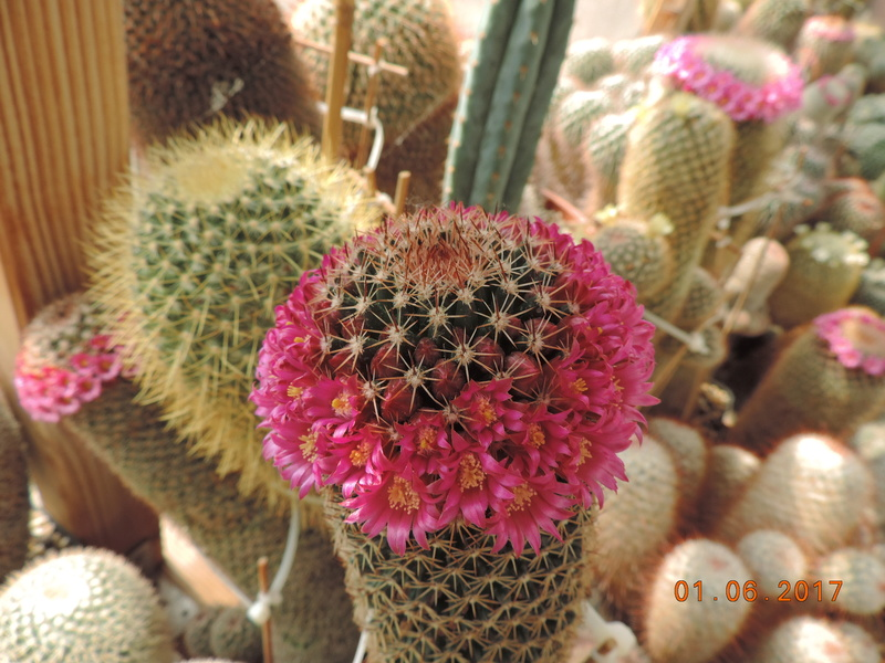 Cacti and Sukkulent in Köln, every day new flowers in the greenhouse Part 164 Bild_967