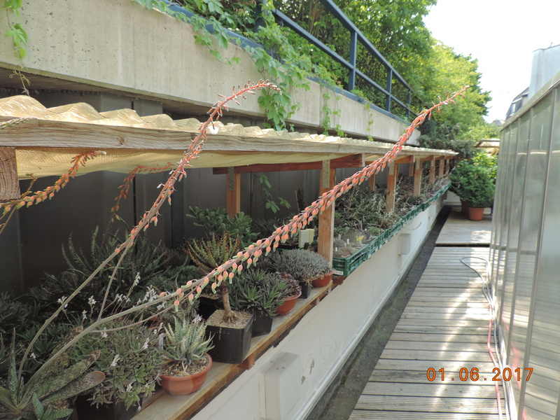 Cacti and Sukkulent in Köln, every day new flowers in the greenhouse Part 164 Bild_968