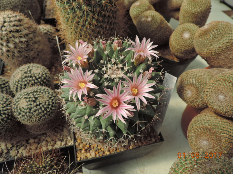 Cacti and Sukkulent in Köln, every day new flowers in the greenhouse Part 164 Bild_970