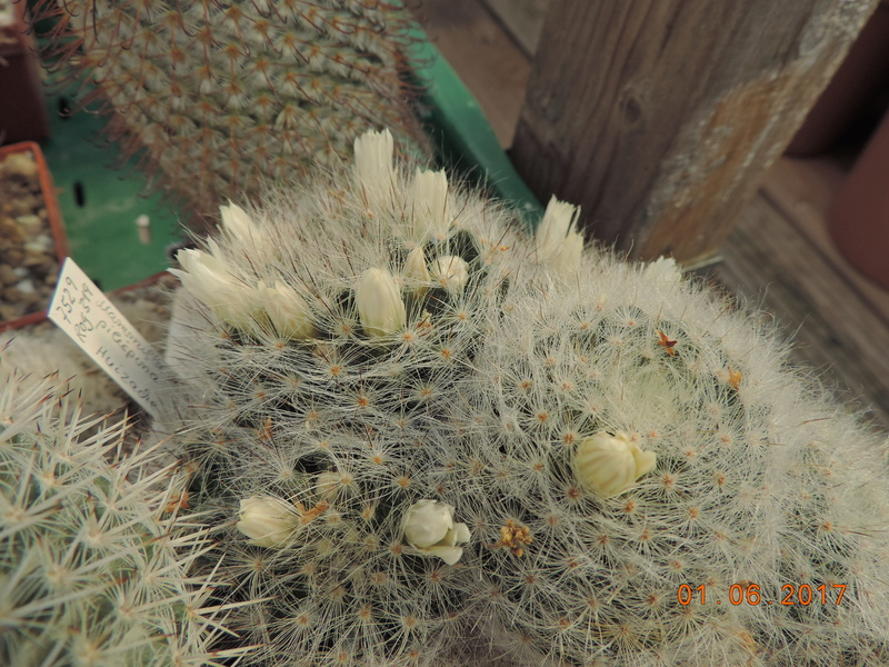 Cacti and Sukkulent in Köln, every day new flowers in the greenhouse Part 164 Bild_971