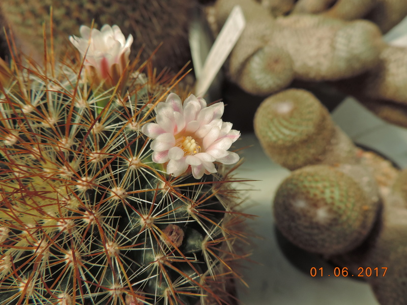 Cacti and Sukkulent in Köln, every day new flowers in the greenhouse Part 164 Bild_972